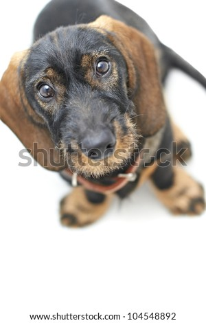 Black and brown Dachshund cross dog looking up - stock photo