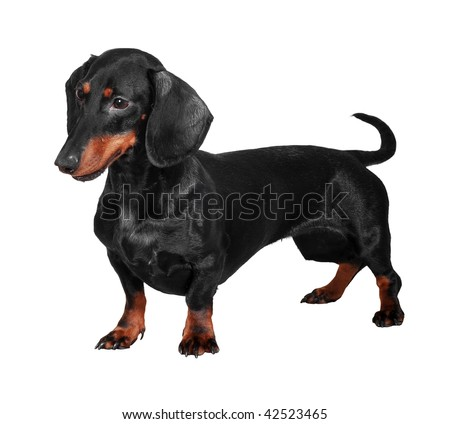 Black and brown dog (dachshund) isolated on white background - stock photo