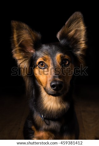 Black and brown mix breed dog canine with perky ears sitting on wooden floor in dark isolated looking froward watching waiting listening paying attention patient obedient alone lonely sad quiet