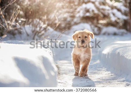 Black and golden hovawart puppy on the snow - stock photo
