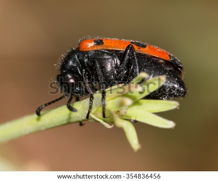 Black and red beetle on a flower - stock photo