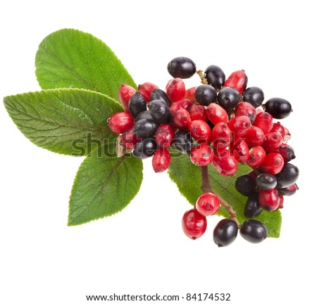 Black and red  berries  Viburnum lantana , branch isolated on white background
