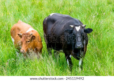 black and red cow in a green pasture on cattle farm - stock photo