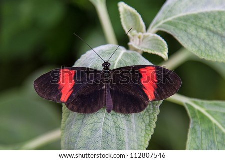 Black and red postman butterfly