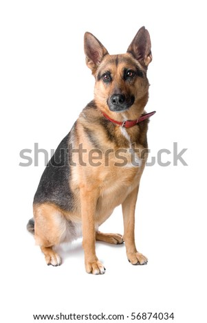 black and tan german shepherd dog sitting, isolated on a white background