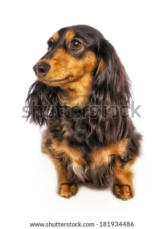 Black and tan long haired dachshund sitting looking to the side isolated on white background - stock photo