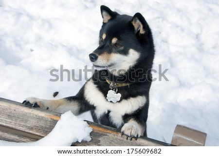 Black and Tan Shiba Inu Dog plating in the snow in yoyogi Park, Tokyo, Japan