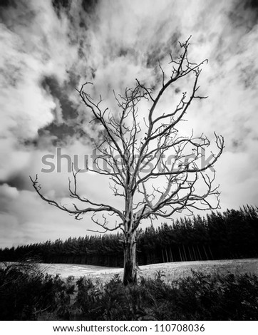 Black and White Alone Dead Tree with dramatic sky and pine plantation in the background - stock photo