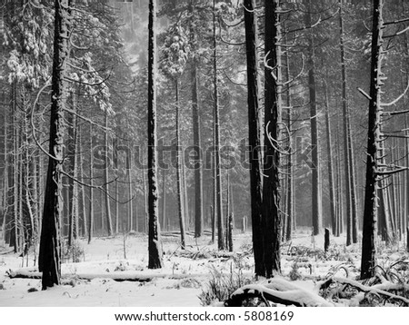 Black and white Aspen trees during snowstorm in Yosemite park - stock photo