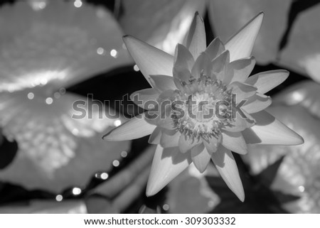 Black and white, Beautiful lotus flower in blooming - stock photo