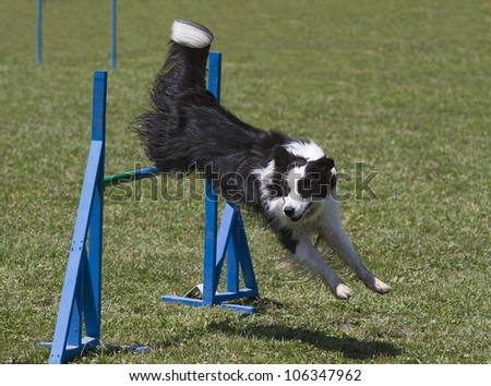 Black and white border collie exercising in agility course - stock photo