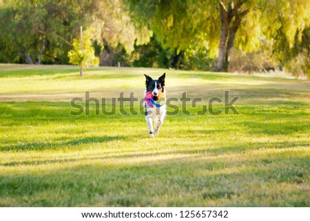 Black and white Border Collie running with frisbee - stock photo