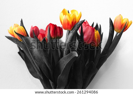Black and white bouquet tulips with colored flower buds - stock photo