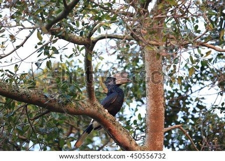 Black-and-white-casqued hornbill or grey-cheeked hornbill(Bycanistes subcylindricus) in Uganda - stock photo