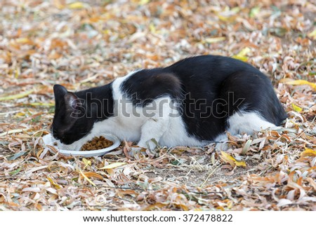 Black and white cat eats cats food outdoor - stock photo