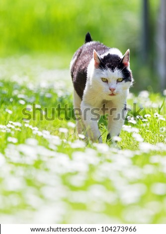 Black and white cat in a field of daisies - stock photo