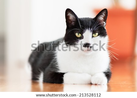 Black and white Cat posing