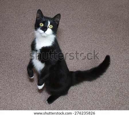 Black and white cat stands on floor on its hind legs - stock photo