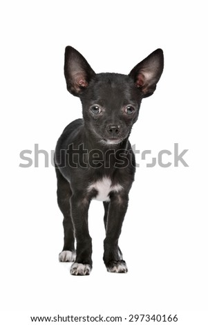 Black and white Chihuahua dog in front of a white background - stock photo