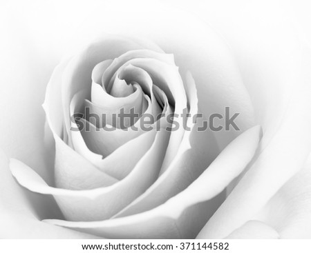 Black and White Close up Image of the Beautiful Pink Rose. Flower Background - stock photo