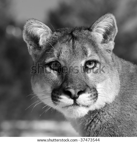 Black and White Close up of a Mountain Lion - stock photo