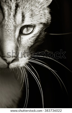Black and white close-up picture of beautiful young tabby cat (half face) with black background, vertical. - stock photo