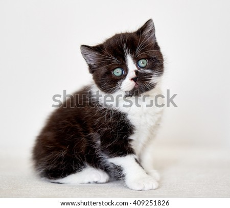 black and white color british short hair kitten sitting on sofa, selective focus - stock photo