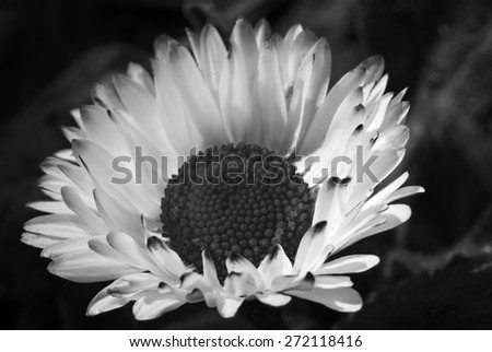black and white Common daisy bloom - stock photo