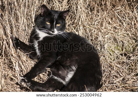 Black and white countryside cat lying on dry winter grass - stock photo