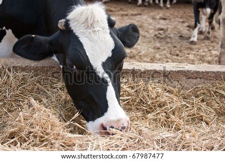 Black and white cow feeding. - stock photo
