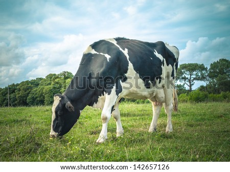 Black and white cow grazing in the meadow - stock photo
