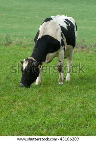 Black and white cow in a green meadow, eating grass