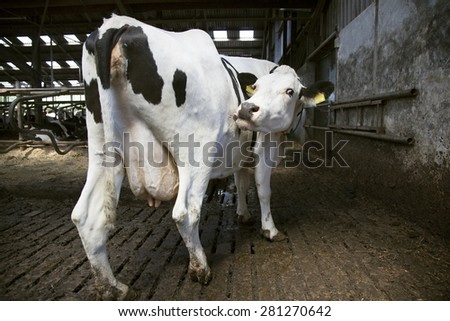 black and white cow in open stable licks itself - stock photo