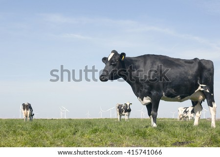 black and white cow in sunny dutch green meadow under blue sky on beautiful day in Holland with other cows and wind turbines in the background - stock photo