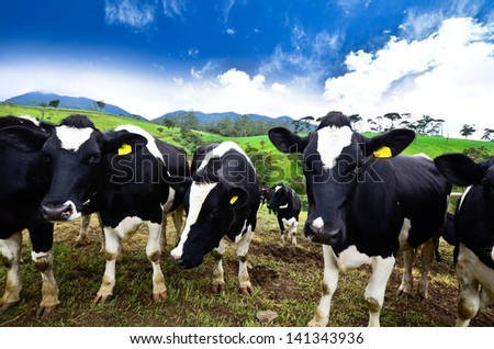 Black and white cows - stock photo