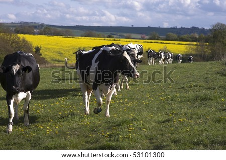 Black and white cows come in to the meadow to eat the grass, room for copyspace - stock photo