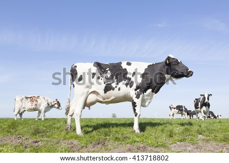 black and white cows in sunny dutch green meadow on beautiful day in Holland - stock photo