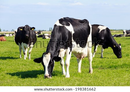 Black and white cows on farmland  - stock photo