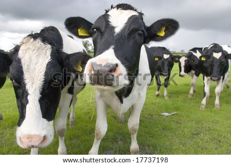 Black and white cows on the pasture. - stock photo