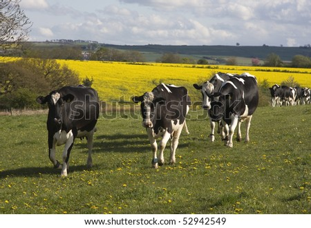 Black and white cows walk into the grass pasture - stock photo