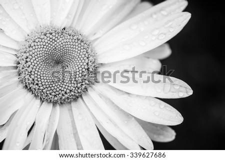 Black and white daisy flower, monochrome background. - stock photo