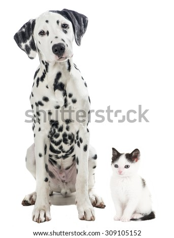 Black and white dalmatian dog and black and white kitten cat sitting together isolated on a white background - stock photo