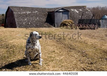 Black and white Dalmatian dog guarding the farm yard. - stock photo