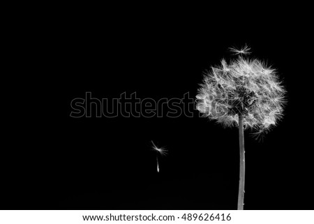 Black and white dandelion flower