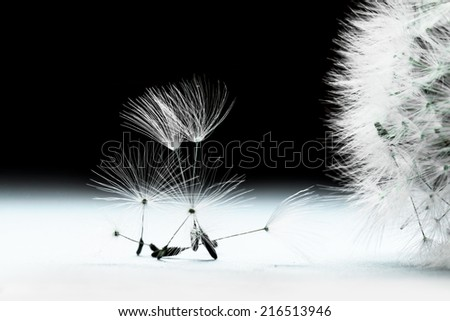 Black and white dandelion flower seeds and head composition. Nature macro background - stock photo