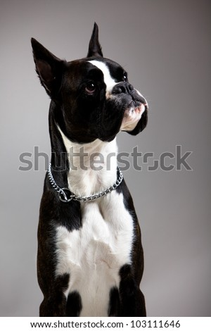 black and white dog breed boxer - stock photo