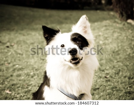 black and white dog in the meadow, close-up, border collie mixed breed, front view - stock photo