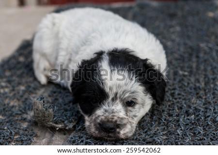 Black and white dog puppies - stock photo