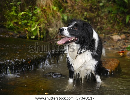 Black and white dog standing in a river - stock photo
