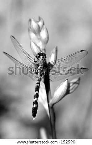 Black and white dragonfly - stock photo